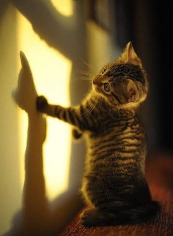 gato jugando con su sombra