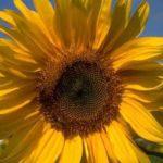 Fotos de girasoles, adorar al sol