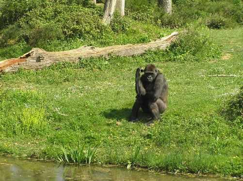 Gorila sentado