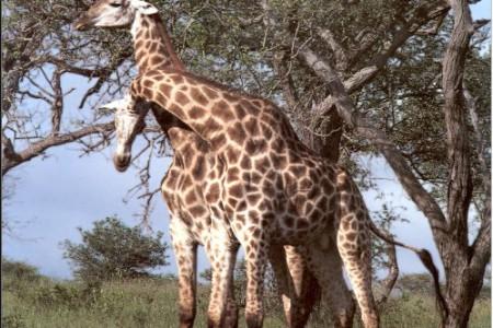Fotos de jirafas, esos esbeltos animales