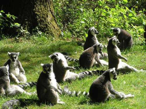 Lemures de cola rallada