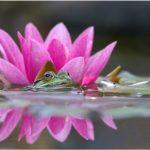 Flor de loto, fotos de belleza ancestral