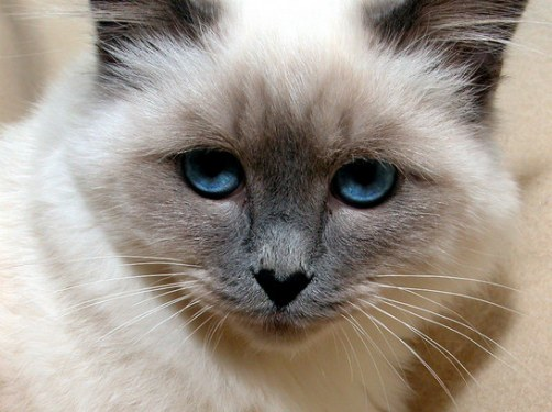 Ojos de gato , ojos claros, misteriosos… ¿ojos mentirosos?