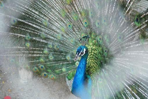 Destellos el presumido pavo real - Fotos de un pavo real ...