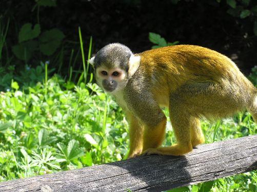 Saimiri o Mono Ardilla