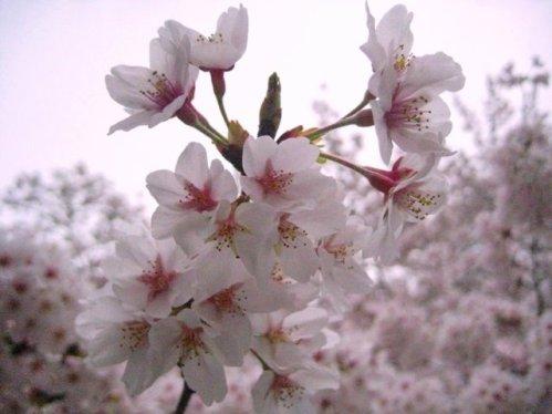 sakura flores de cerezo en japon