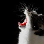 Bostezos de gatos, maullidos soñadores