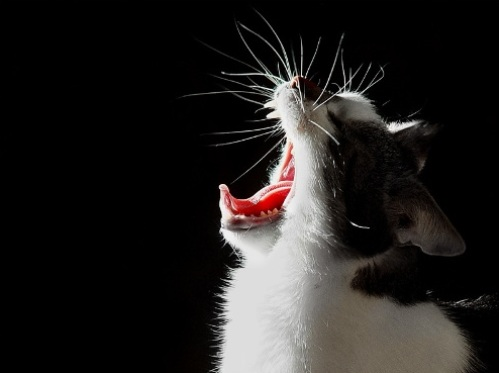 gato que bosteza
