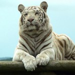 Fotos de tigres blancos, pureza y fiereza