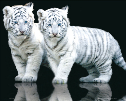 White Tiger Cubs with Blue Eyes