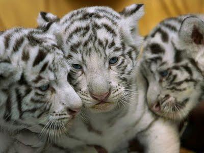 Imágenes de tigres y información sobre los tigres.